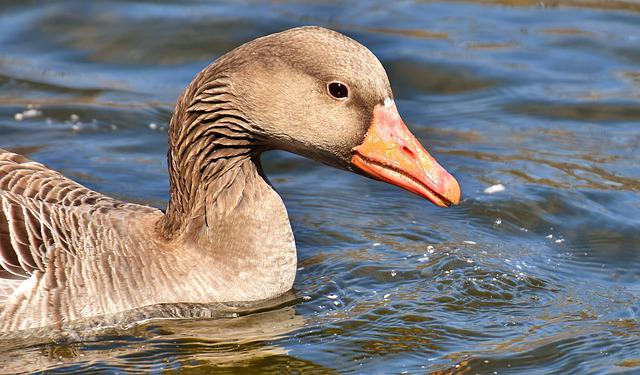 Goose, Water Bird, Water, Animal, Pond, Bird, Nature