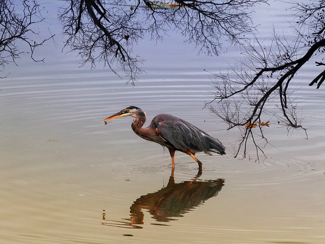 Blue Heron, Water Bird, Bird, Feathered, Sunset
