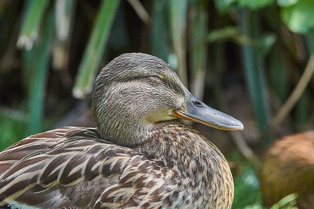 Duck, Female, Water Bird, Bird, Mallard, Bill, Animal