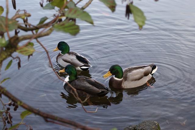 Duck, Puddle, Waters, Lake, Bird, Water Bird, Mallard