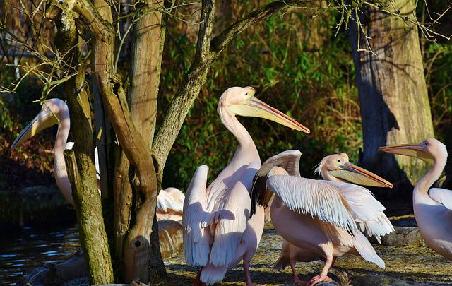 Pelikan, Water Bird, Pink Pelican, Bill, Bird, Plumage