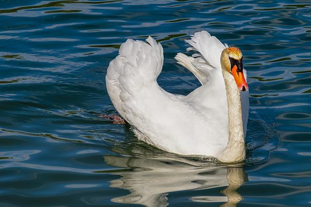 Swan, Animal, White Swan, Bird, Water Bird