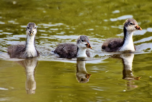 Coot, Duck, Chicks, Water Bird, Bird, Young Animal