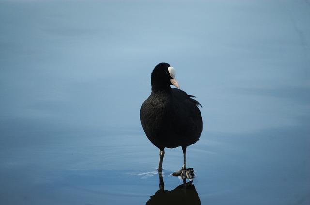 Coot, Fulica Atra, Ralle, Duck, Water Bird