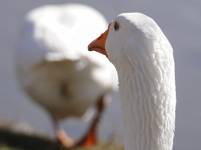 Goose, Water Bird, Bird, Domestic Goose, Geese, Feather
