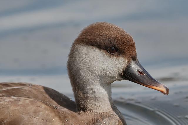 Duck, Eat, Bill, Water Bird