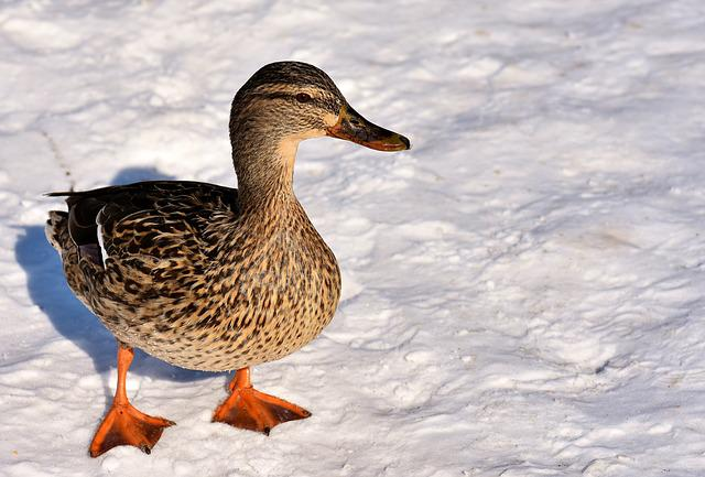 Duck, Mallard, Snow, Winter, Cold, Colorful, Water Bird