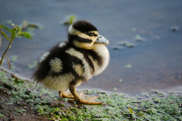 Duckling, Duck, Bird, Pond, Water, Chicks, Nature