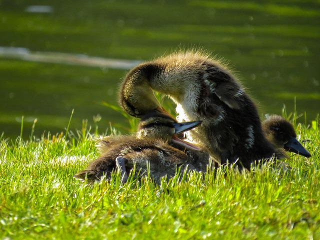 Animals, Ducks, Chicks, Water Bird, Mallard, Young