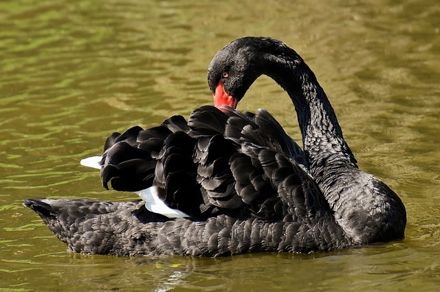 Swan, Black, Water Bird, Elegant, Lake, Animal, Nature