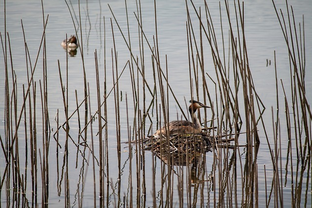 Great Crested Grebe, Nest, Water Bird, Reed, Hidden