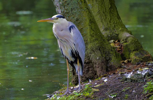 Grey Heron, Water Bird, Nature, Animal Photography