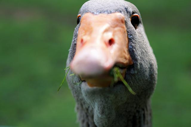Goose, Wild Goose, Bird, Water Bird, Greylag Goose