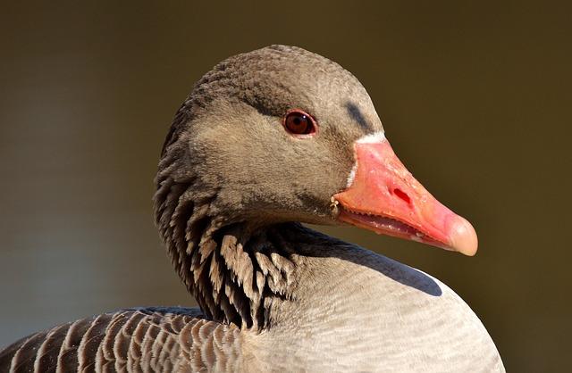 Goose, Water Bird, Animal World, Head, Wild Goose