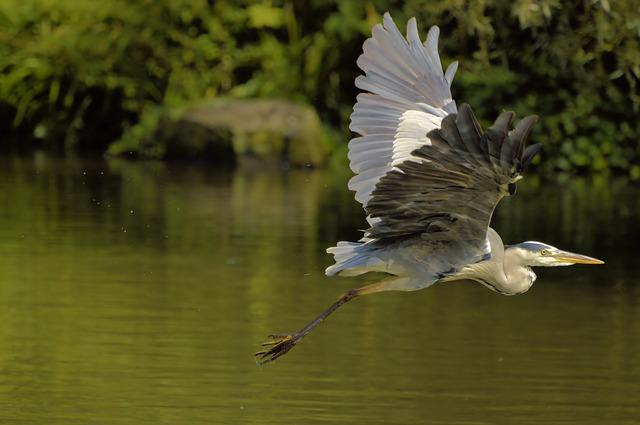 Grey Heron, Nature, Heron, Water Bird, Animal World
