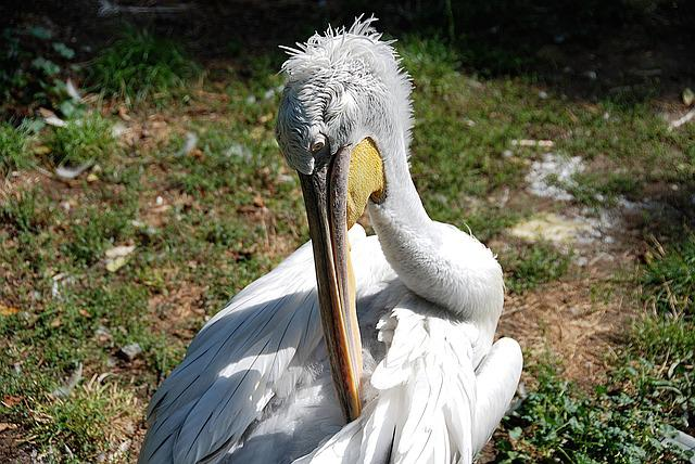 Pelikan, Clean, Water Bird, Zoo, Plumage