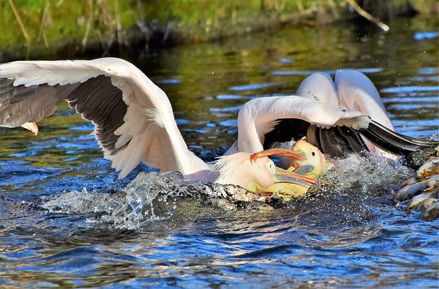 Pelikan, Water Bird, Pink Pelican, Bill, Fight, Dispute