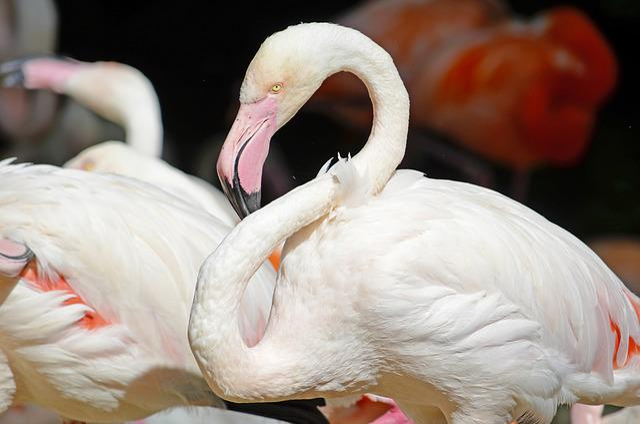 Flamingo, Pink Flamingo, Water Bird, Pink, Plumage