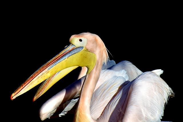 Pelikan, Water Bird, Pink Pelican, Bill, Bird, Plumage