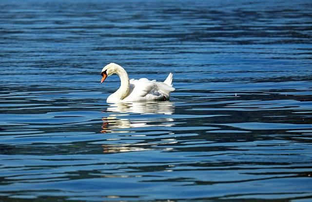 Swan, Animal, Water Bird, Pride, Floats, Lake
