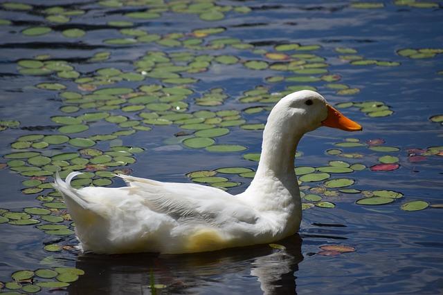Water, Pool, Lake, Bird, Duck, Reflection, Wildlife