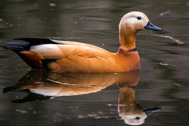 Rust Goose, Tadorna Ferruginea, Water Bird, Swim