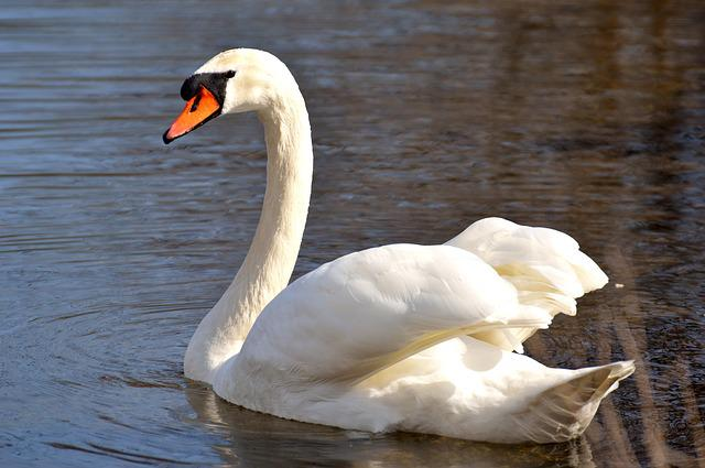Swan, Water Bird, Nature, Animal, Schwimmvogel, Pride