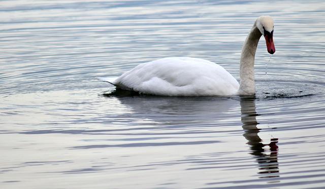 Swan, Schwimmvogel, Water Bird, Lake, Bird, Species
