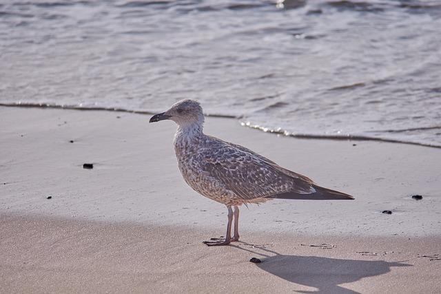 Sea, Gull, Beach, Bird, Water Bird, White, Grey