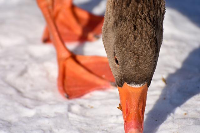 Goose, Snow, Winter, Cold, Water Bird