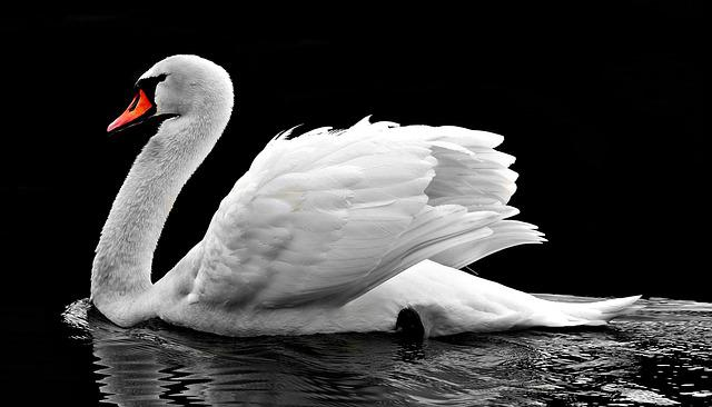 Swan, Water, White, Water Bird, Lake, Nature, Waters