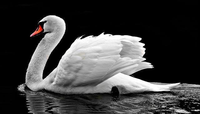Swan, Water, White, Water Bird, Lake, Nature, Waters