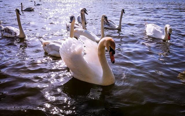 Swan, Swans, Lake, Bird, Water Bird, Nature, Pen