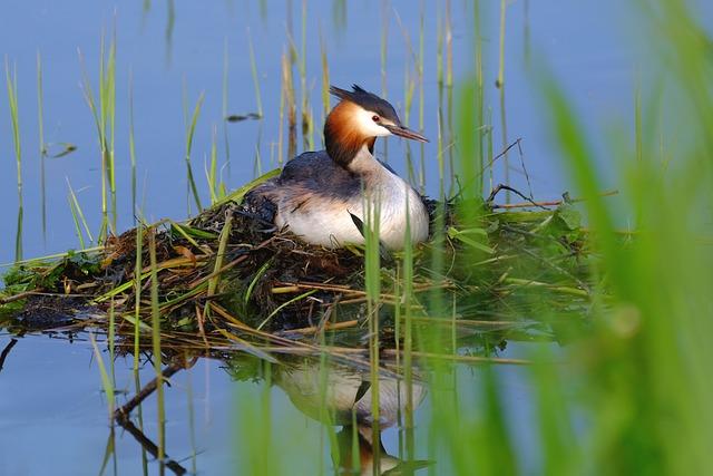 Great Crested Grebe, Bird, Water Bird, Lake, Water