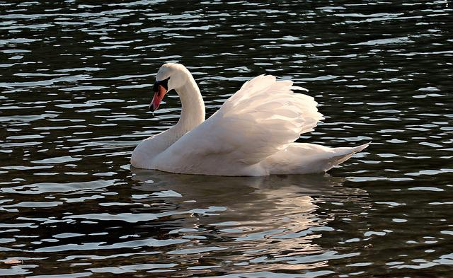 Swan, Water, White, Water Bird, Lake, Nature