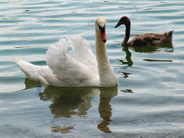 Swan, Swans, Waters, Water Bird, Lake, Schwimmvogel
