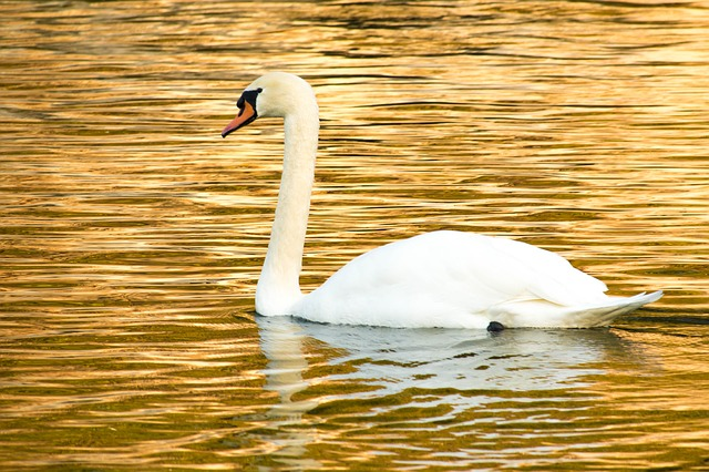 Swan, Mute Swan, Cute, Golden, Water Bird, Bird, White