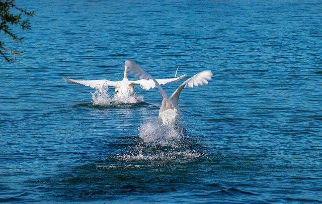 Swan, Animal, White Swan, Bird, Water Bird
