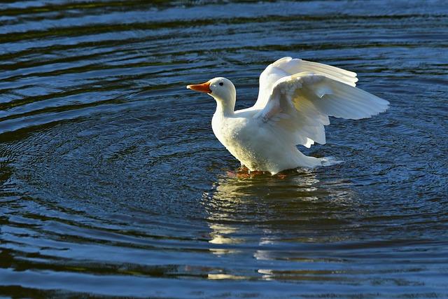 White Pekin Duck, Water Bird, Animal, Wing Flapping