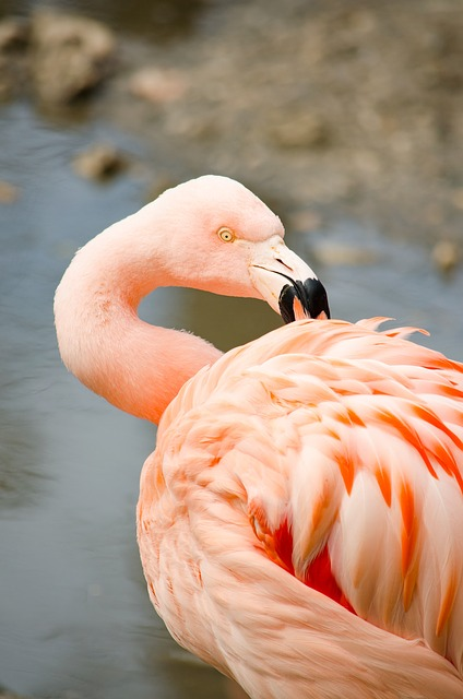 Flamingo, Water Bird, Pink Flamingo, Zoo, Tiergarten