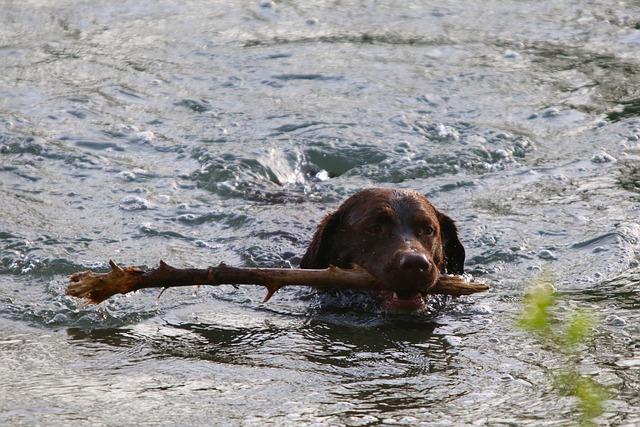 Water, Animal, Dog, Dog Head, Swim, Branch