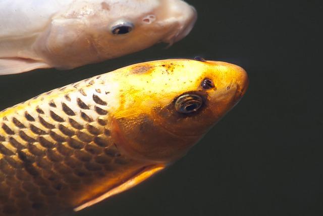 Brocade Carp, Koi, Carp, Fish, Swim, Pond, Water, White