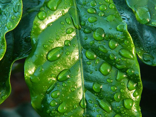 Leaf, Rain, Coffee, Water, Wet Sheet, Coffee Sheet
