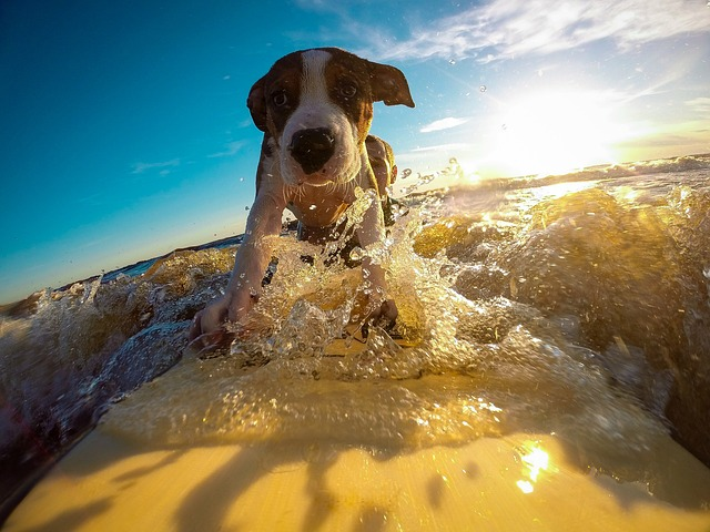 Dog, Surfing, Water, Wave, Summer, Self, Confidence