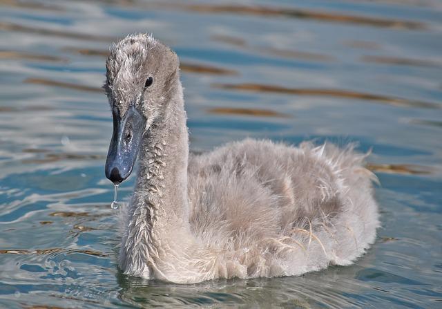 Swan, Animal, Water, Bird, Young, Lake, Cygnus