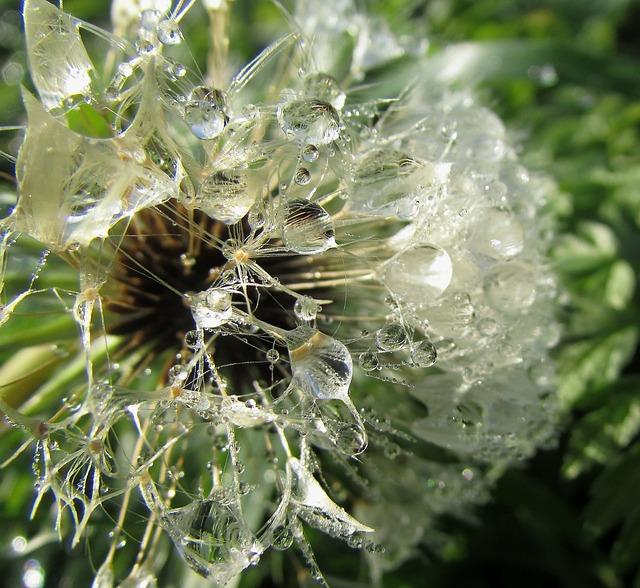 Dew Drops On Flower, Dewdrop, Wassertrofpen, Dew, Water