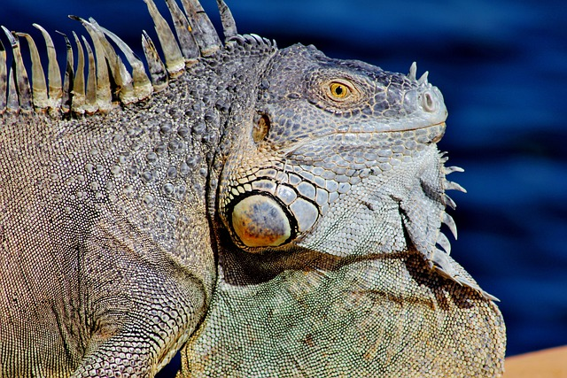 Curious, Iguana, Dock, Cool, Green, Scaly, Water
