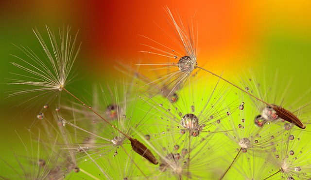 Flowers, Dandelions, Water Droplets, Dewdrops, Macro