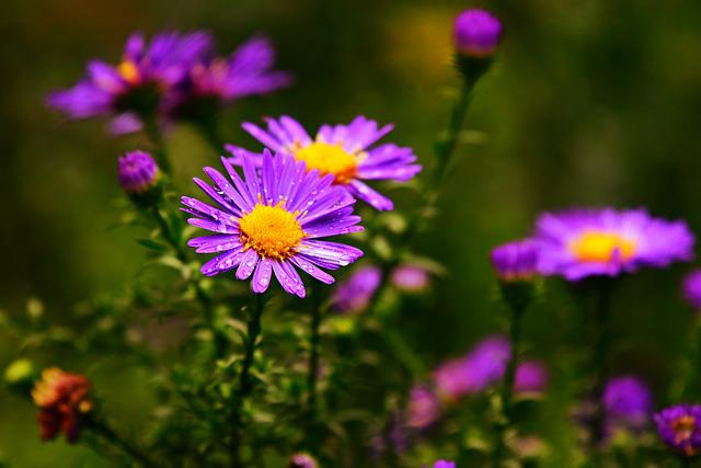 Aster, Flower, Plant, Asteraceae, Autumn, Water Drops
