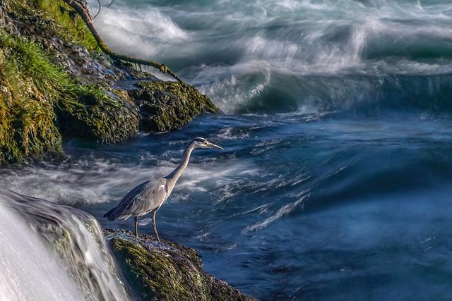 Heron, Attention, Eastern, Water Bird, Hunter, Water